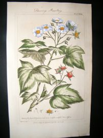 Miller 1760 Folio Hand Col Botanical Print. Flowering Rasberry Fruit
